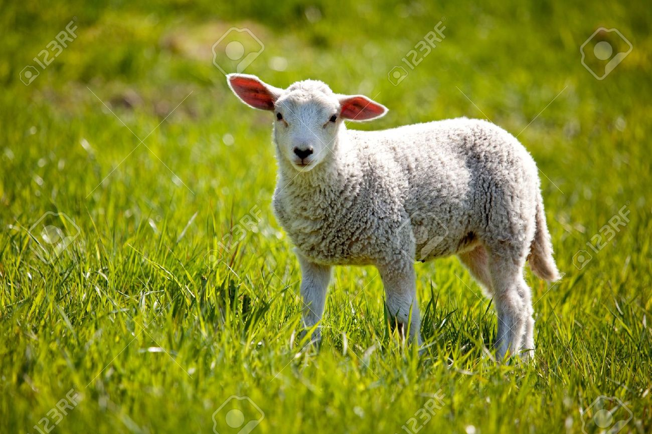 A small lamb in a pasture of sheep looking curious at the camera - 5815737