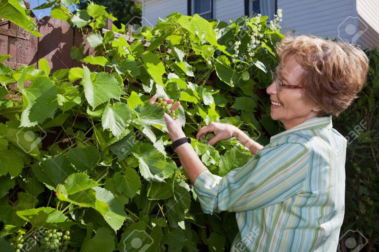 Senior woman looking at grapes while working in garden Stock Photo - 11048141