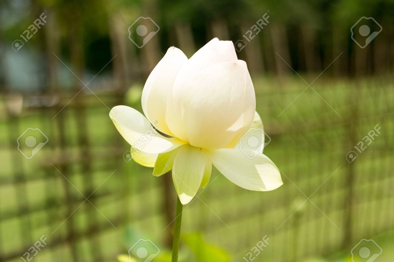 Big lotus flower in pond stock photo picture and royalty free big lotus flower in pond stock photo 80648140 mightylinksfo Image collections