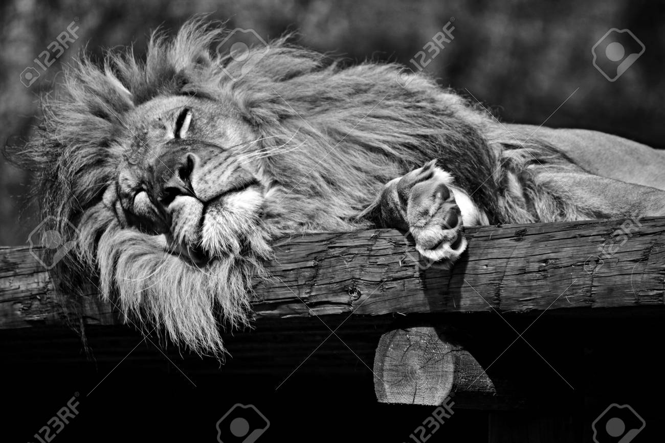 Lion sleeping black and white stock photo 94524082