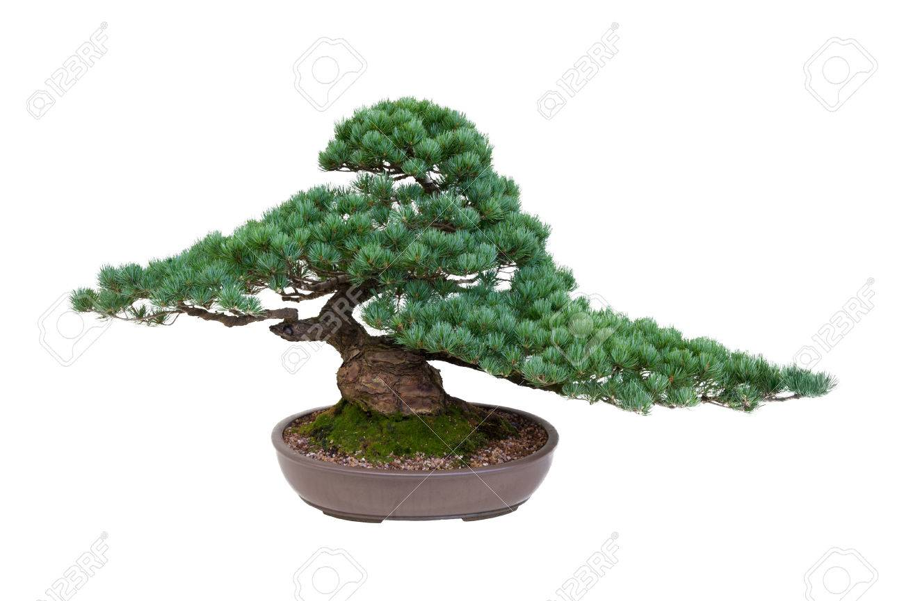 Japanese White Pine Bonsai Tree Isolated Stock Photo Picture And Royalty Free Image Image 30768345