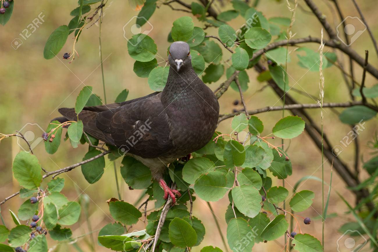 dove looking at camera sitting on the tree Stock Photo - 9955036