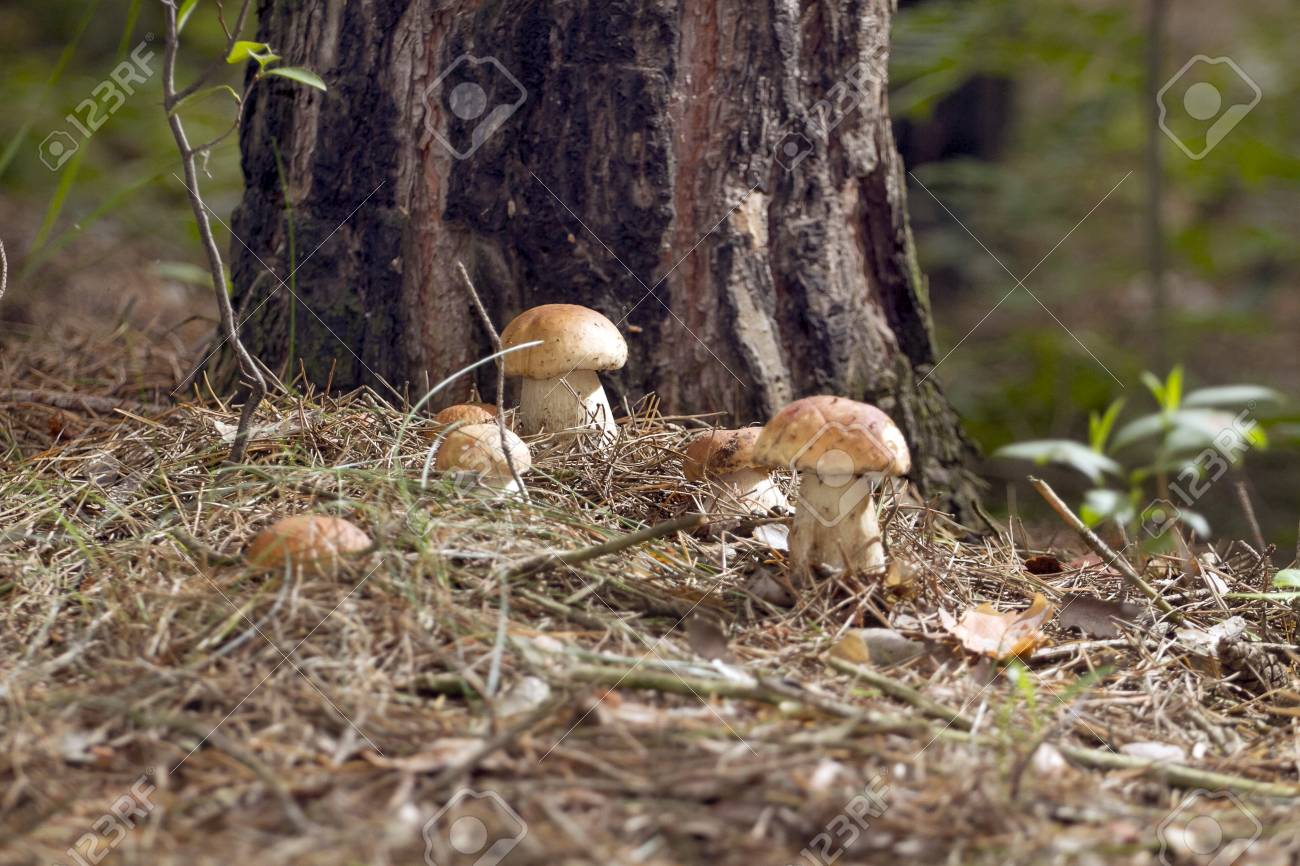 Beautiful Fresh Edible Mushrooms Porcini Mushrooms In The Woods Stock Photo Picture And Royalty Free Image Image 108649263,Crockpot Chicken And Noodles
