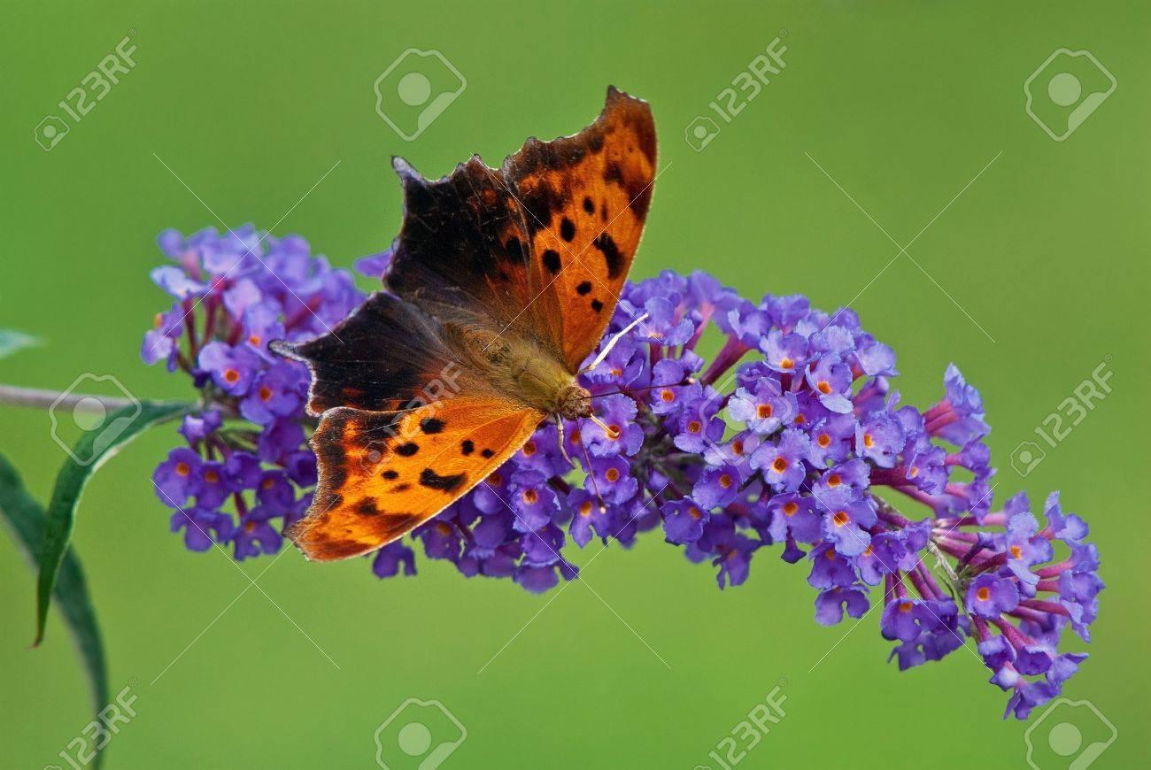 紫蝶ブッシュ花に疑問符蝶 の写真素材・画像素材 Image 14220075.