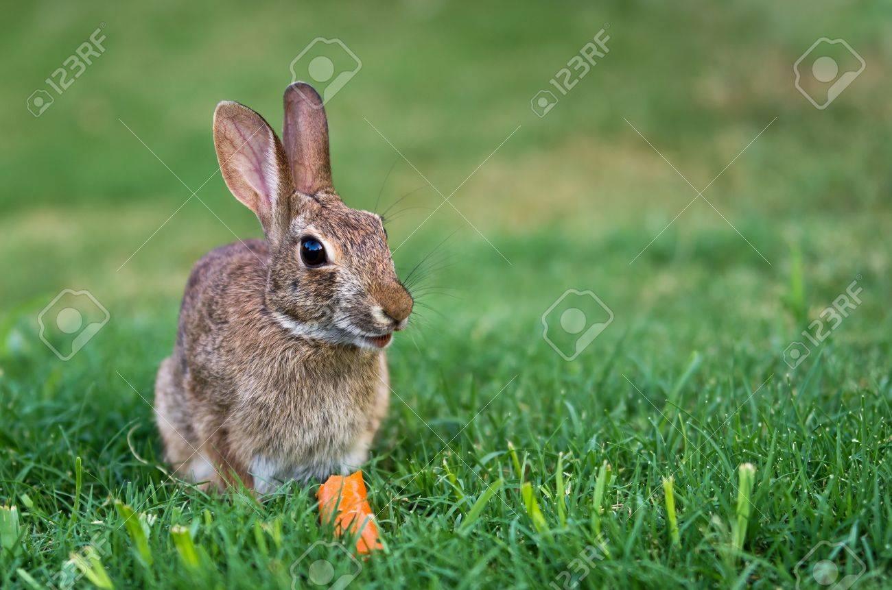 backyard bunny images u0026 stock pictures royalty free backyard