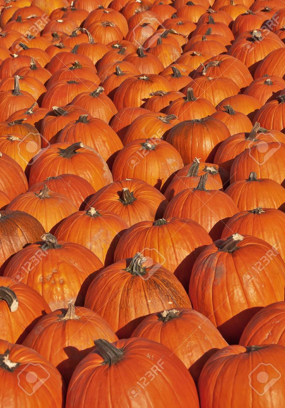 Pumpkin patch with hundreds of colorful pumpkins Stock Photo - 14763121