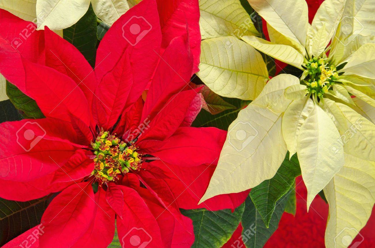 Red And Cream Colored Poinsettia Flowers (Euphorbia Pulcherrima ...