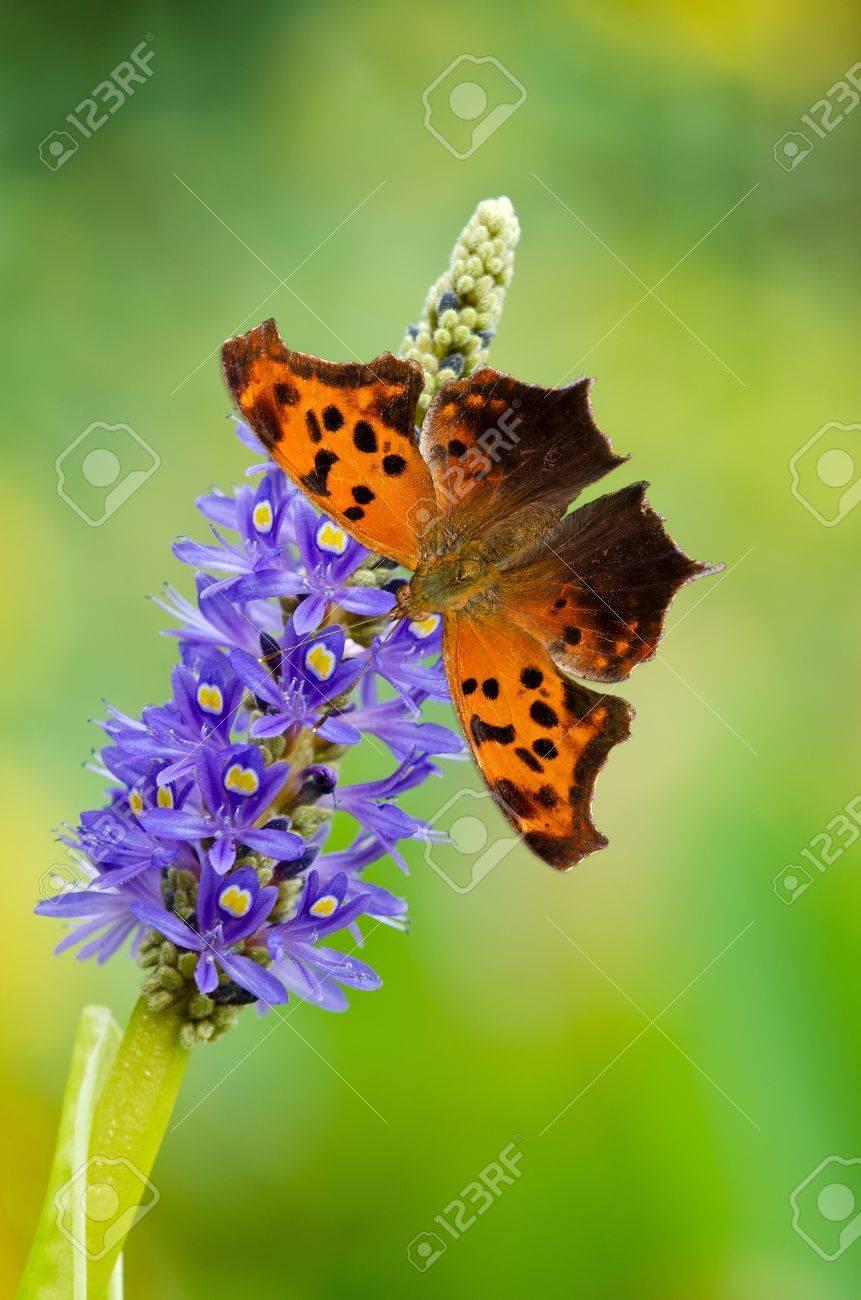 疑問符蝶 (ギモンフタテハ)、Pickerelweed (ボンテデリア) の花 の写真 ...