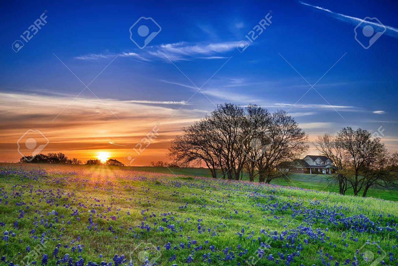 Texas bluebonnet spring wildflower field at sunrise - 27713048