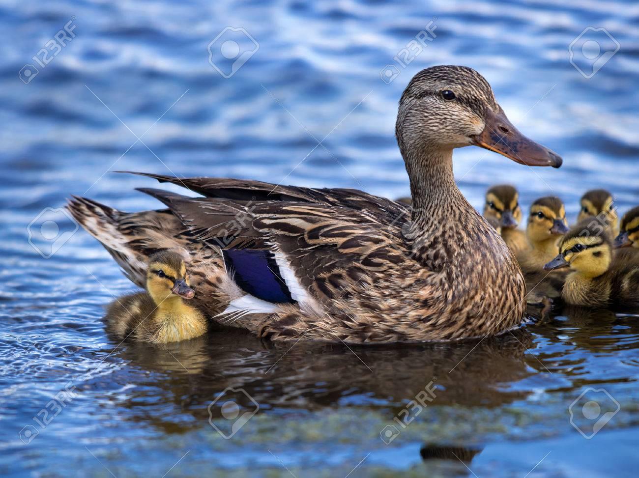 cute newborn mallard anas platyrhynchos duckling swimming in