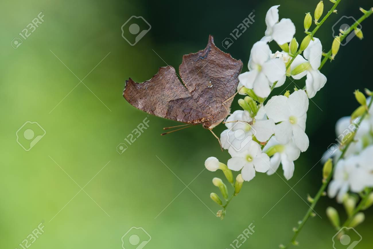 疑問符蝶 (ギモンフタテハ) 白い花を食べています。自然な緑色の背景 ...
