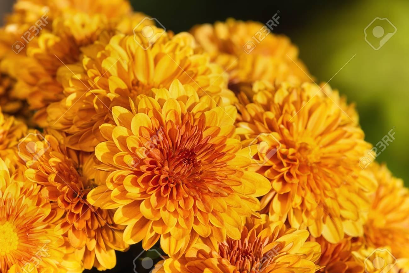 Colorful Orange Yellow Mum Or Chrysanthemum Flowers Blooming Stock