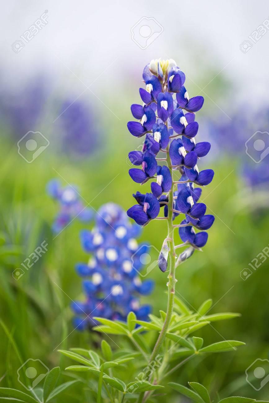 Blue Bonnet Flowers Images Flower Wallpaper Hd