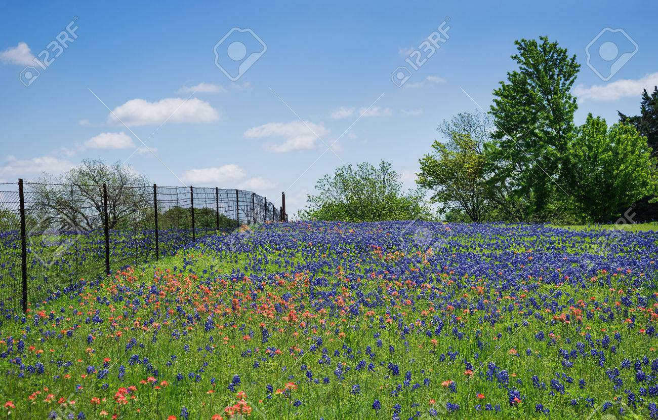 Field Of Bluebonnet And Indian Paintbrush Flowers In Bloom Along