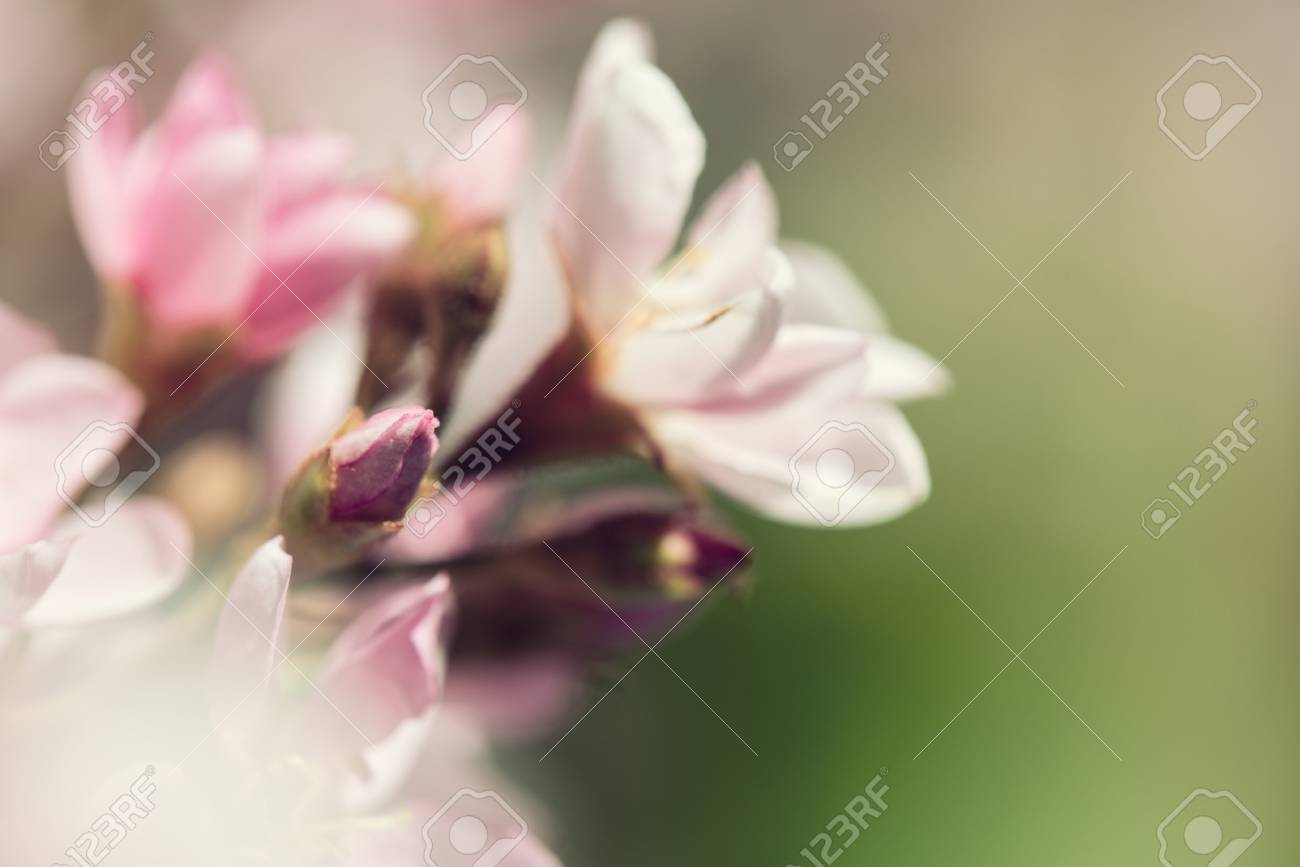 Closeup Of Indian Hawthorn Rhaphiolepis Indica Pink Lady Stock