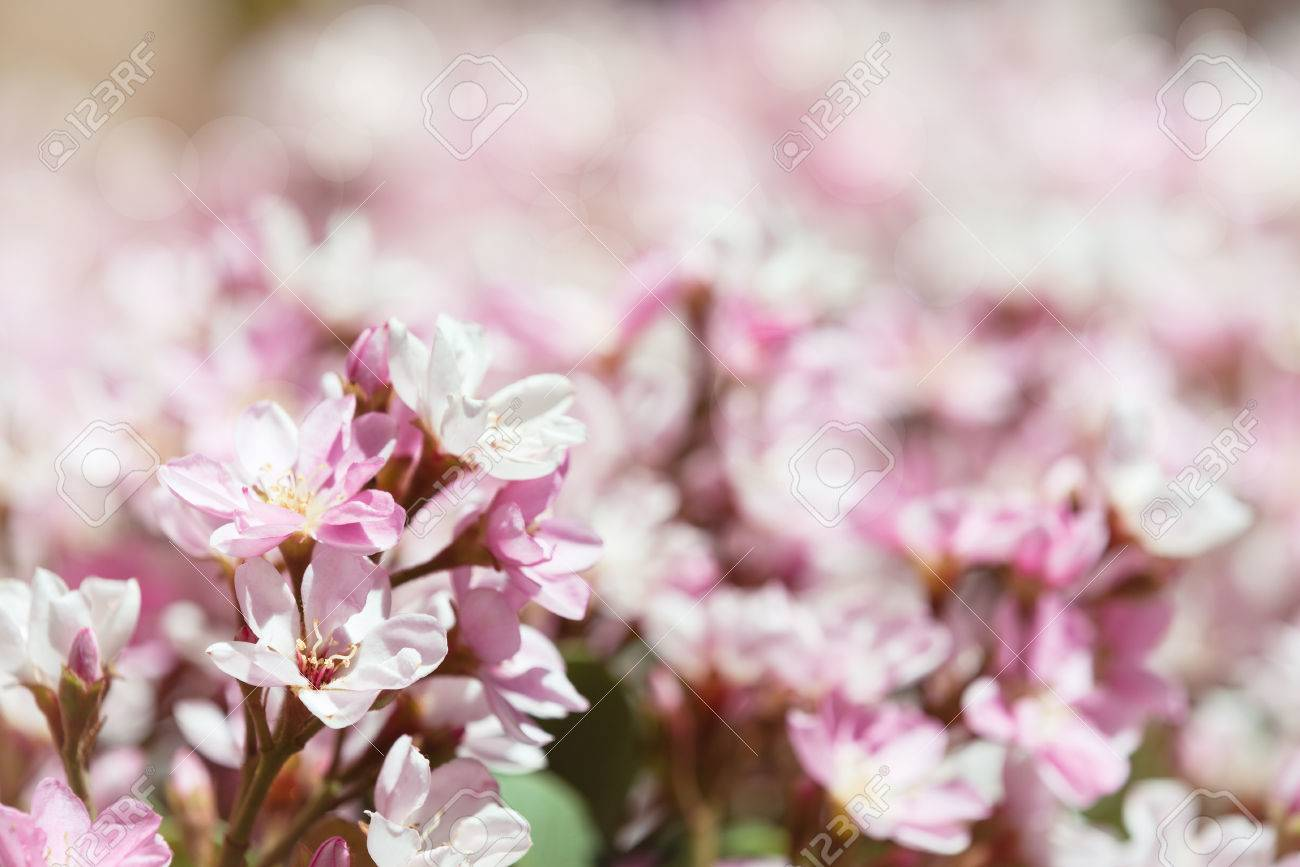 Indian Hawthorn Rhaphiolepis Indica Pink Lady Flowers Blooming