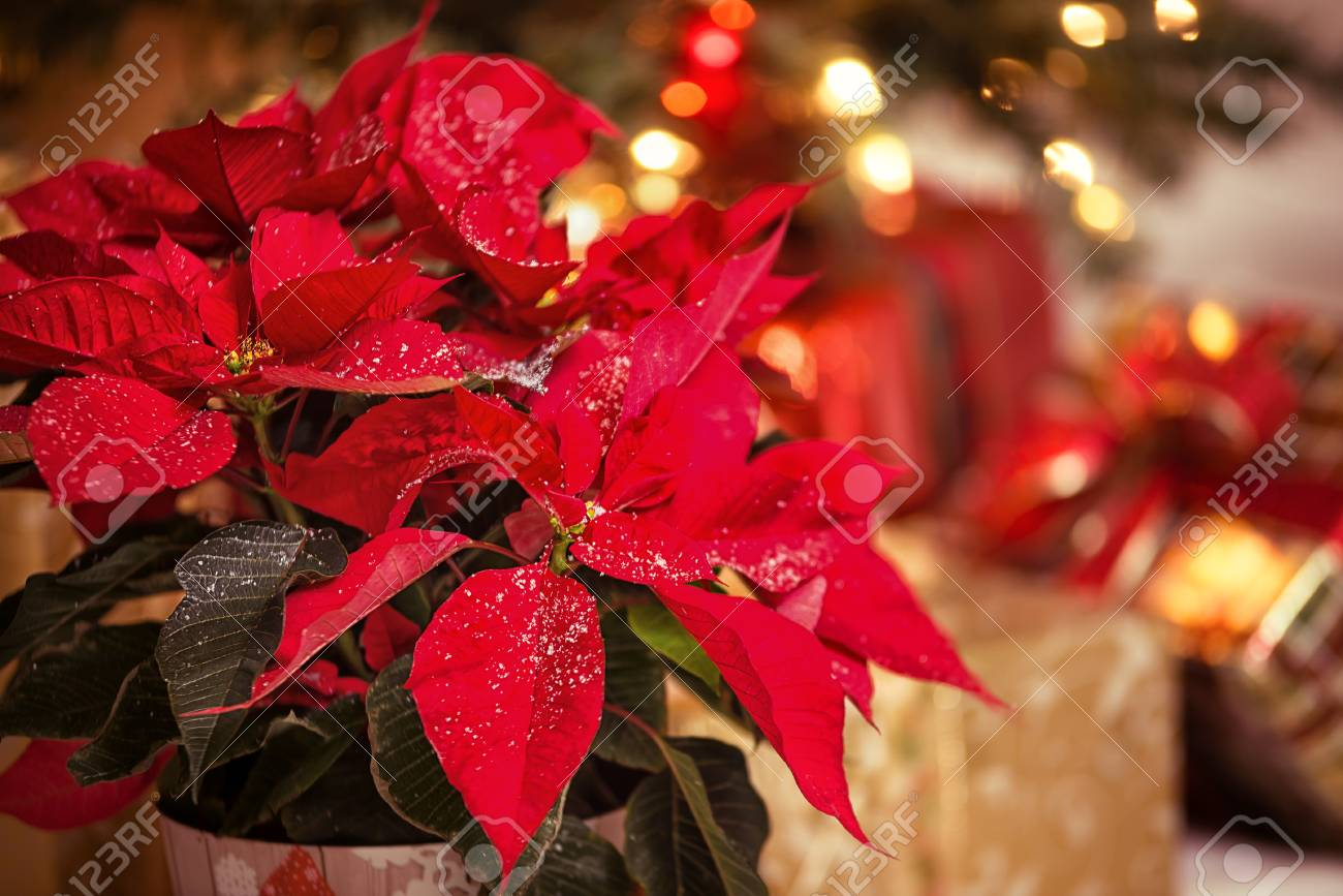 Red Poinsettia (Euphorbia Pulcherrima), Christmas Star Flower ...