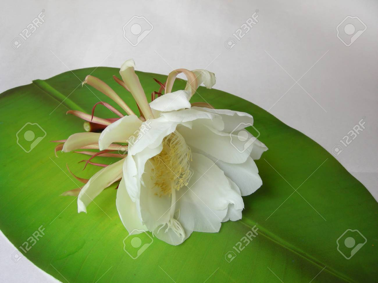 The Bramha Kamal Is A Rare Lotus Named After Lord Brahma The