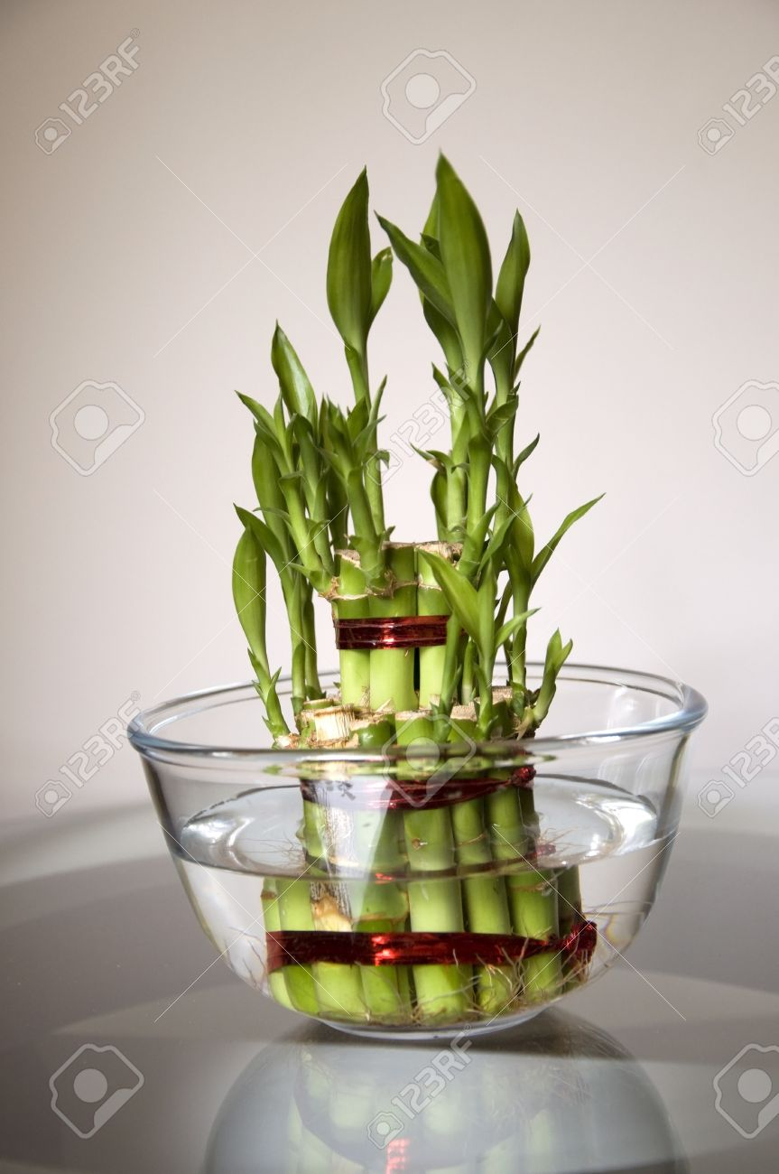 Lucky Bamboo stalks tied with red ribbon symoblising fire,  Kept on the glass table in a glass bowl with water Stock Photo - 15488722