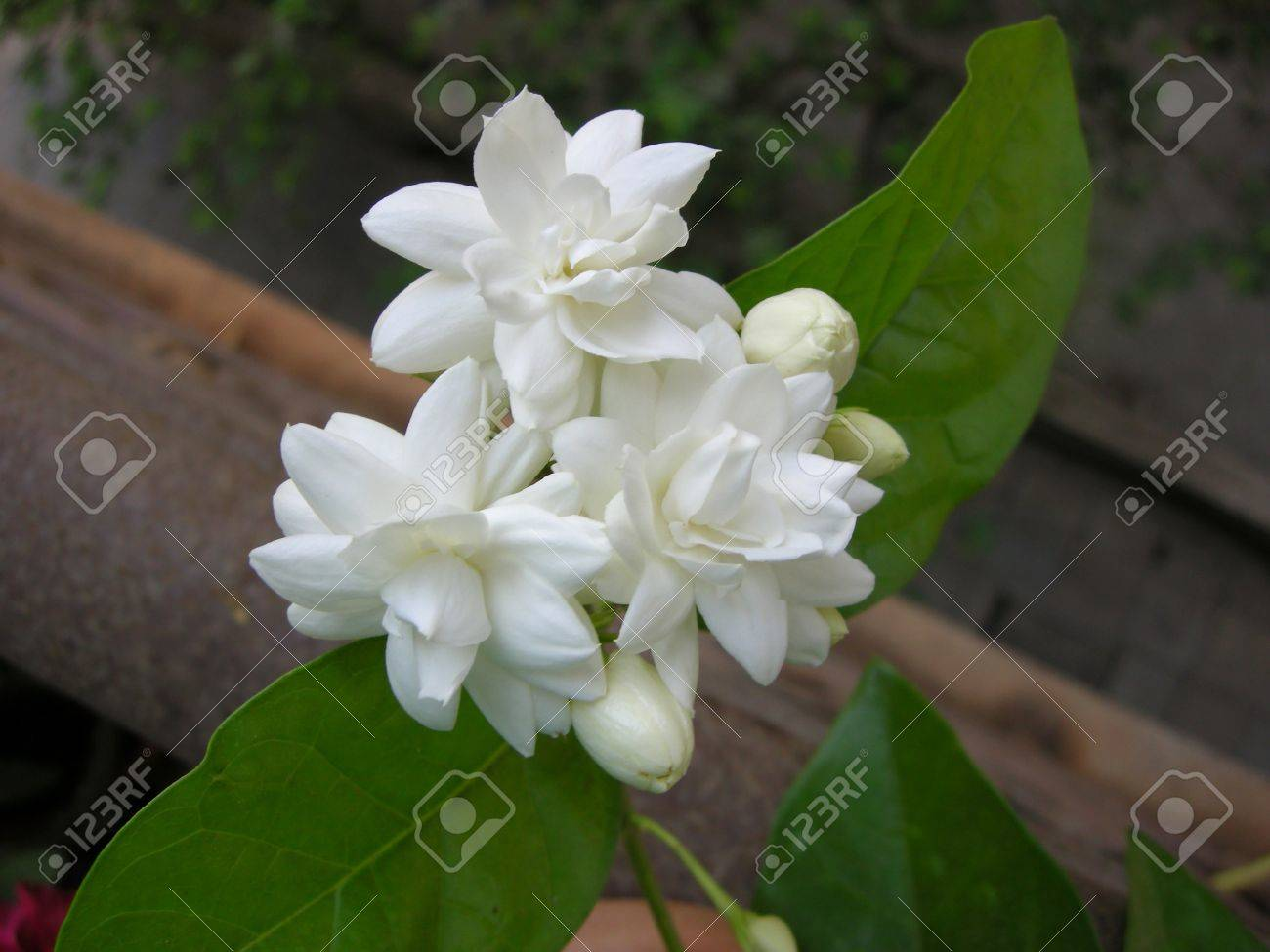 Mogra Is A Beautiful Fragrant White Flower From Jasmine Family Stock