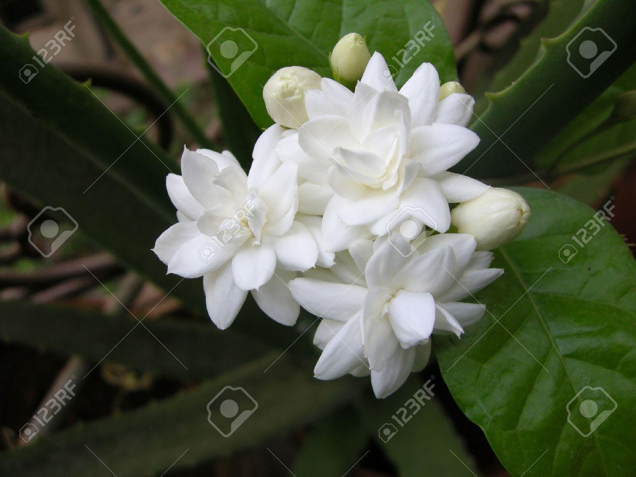 fragrant white flowers  flower, Natural flower