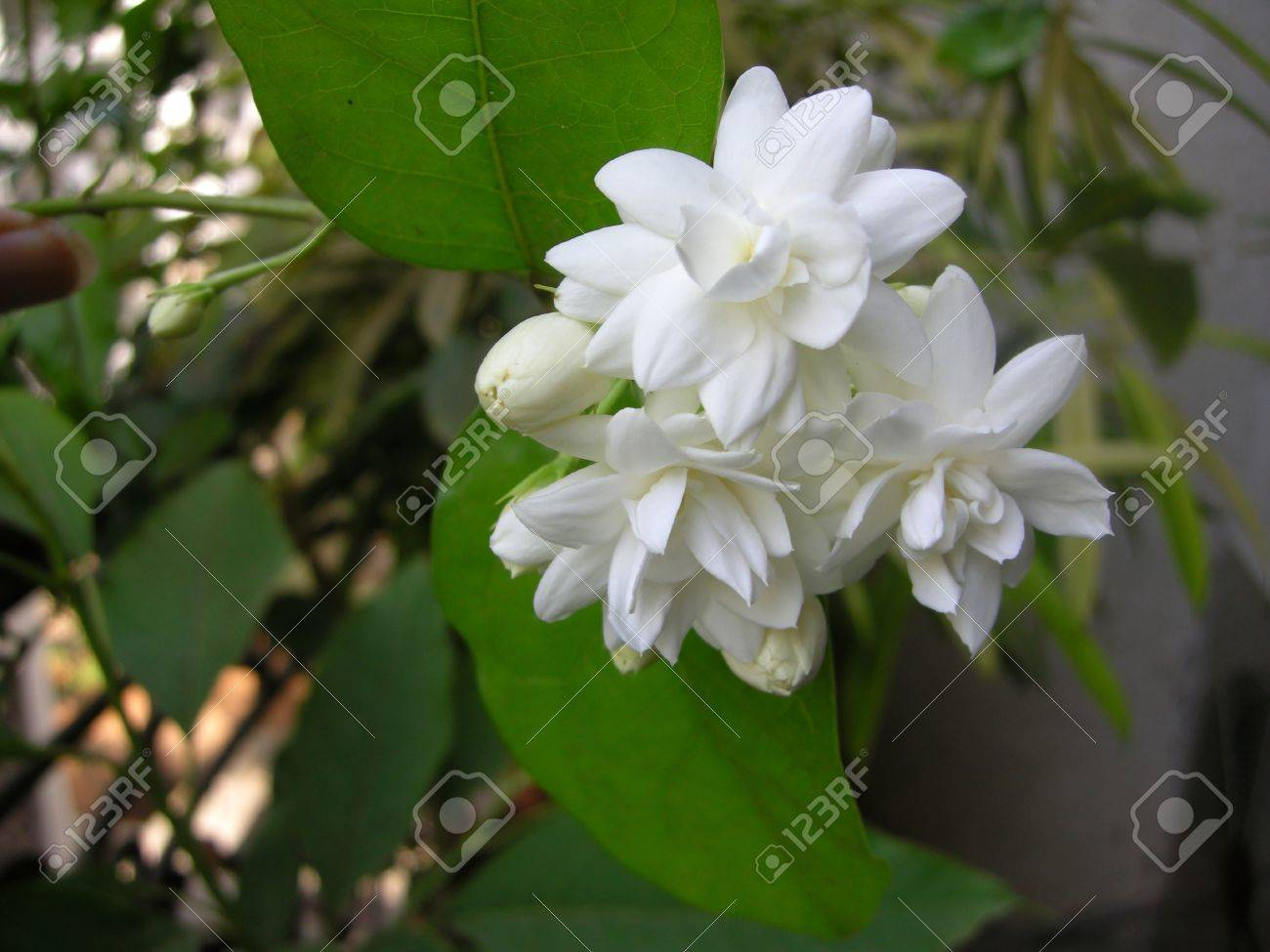 mogra is a beautiful fragrant white flower from jasmine family, Natural flower