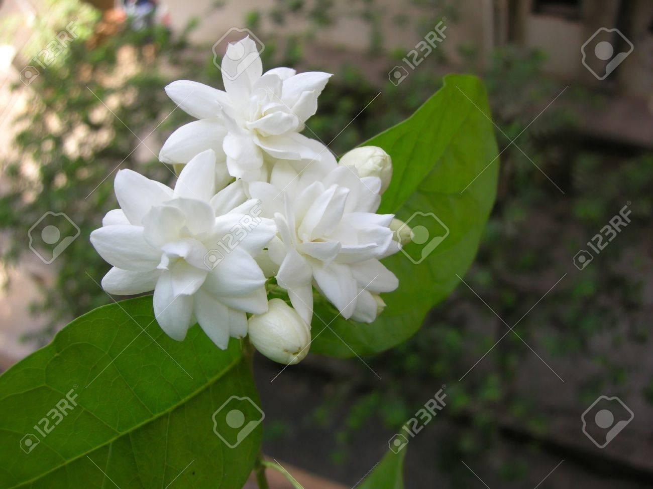 Mogra is a beautiful fragrant white flower from jasmine family stock mogra is a beautiful fragrant white flower from jasmine family stock photo 15440696 izmirmasajfo Gallery