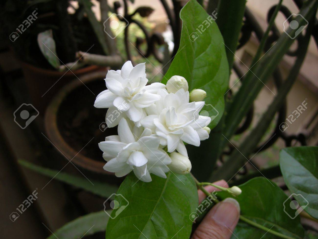 Mogra is a beautiful fragrant white flower from jasmine family stock mogra is a beautiful fragrant white flower from jasmine family stock photo 15440692 izmirmasajfo Gallery
