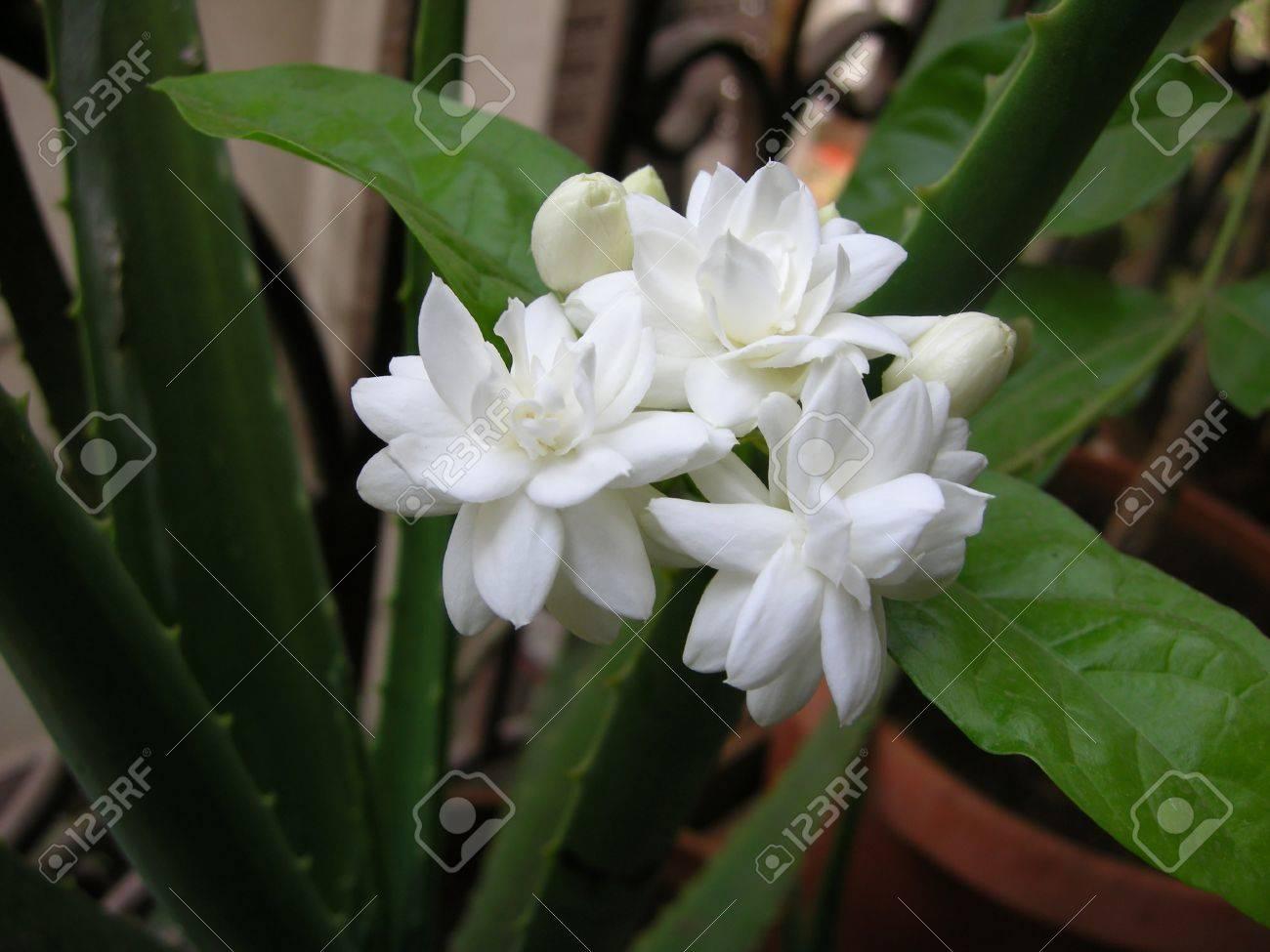 Mogra is a beautiful fragrant white flower from jasmine family stock mogra is a beautiful fragrant white flower from jasmine family stock photo 15440697 izmirmasajfo Gallery