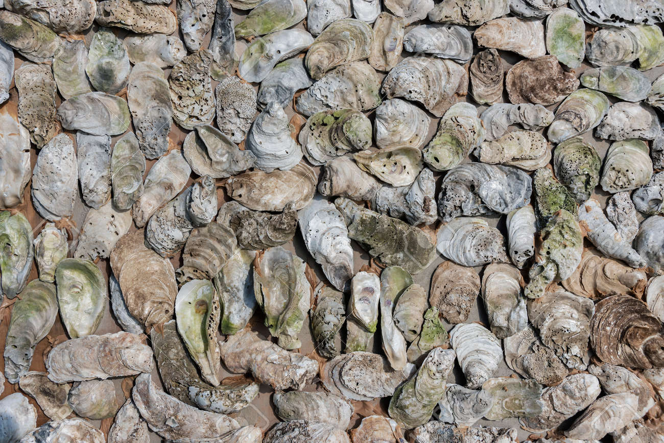 Texture of oyster shells on the wall. Background from mollusk shells embedded in stucco - 171577957