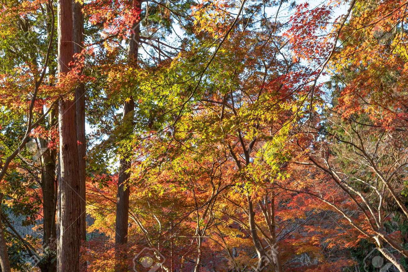 red maple leaves in forest in Kyoto, Japan in autumn season - 172194733