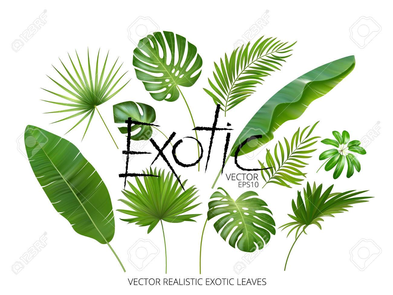 Vector tropical exotic leaves, realistic jungle leaves set isolated on white background. Palm leaf collection. Quality watercolor imitation. Not trace. - 77979131