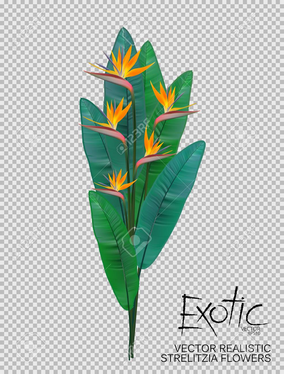 Bird Of Paradise Flowers On Transparent Background. Realistic ...