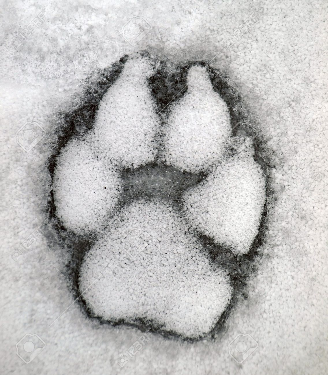 Dog track on the snow stock photo picture and royalty free image dog track on the snow stock photo 12431302 publicscrutiny Choice Image