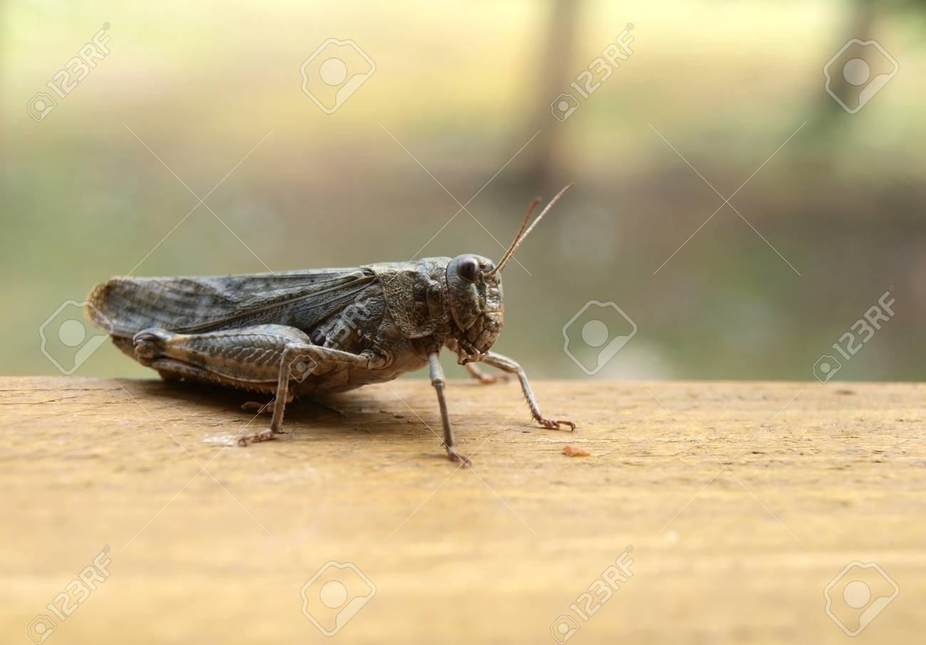 Grasshopper on the wooden plank Stock Photo - 15321981
