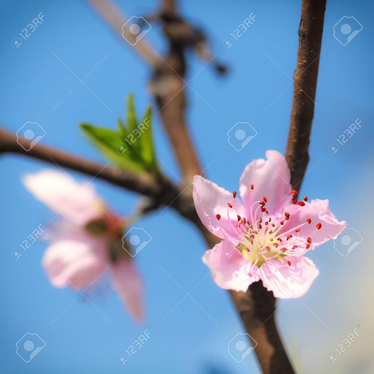 Pink plum blossoms under blue sky Stock Photo - 18095937