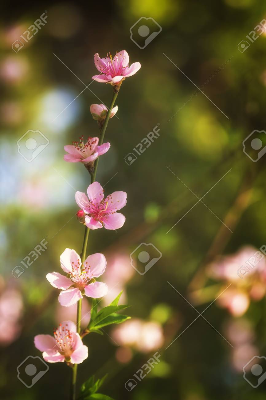 Pink plum blossoms Stock Photo - 18095941