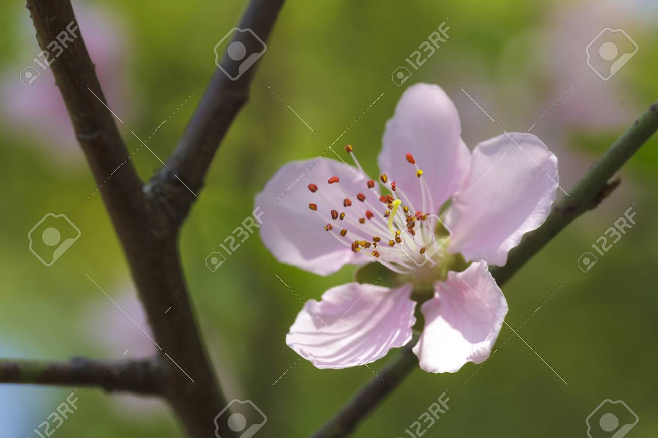 Pink plum blossoms Stock Photo - 18090654