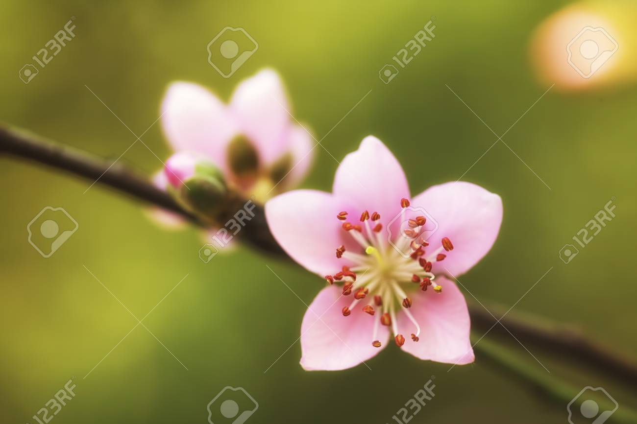 Full-face of pink plum blossoms Stock Photo - 18090662