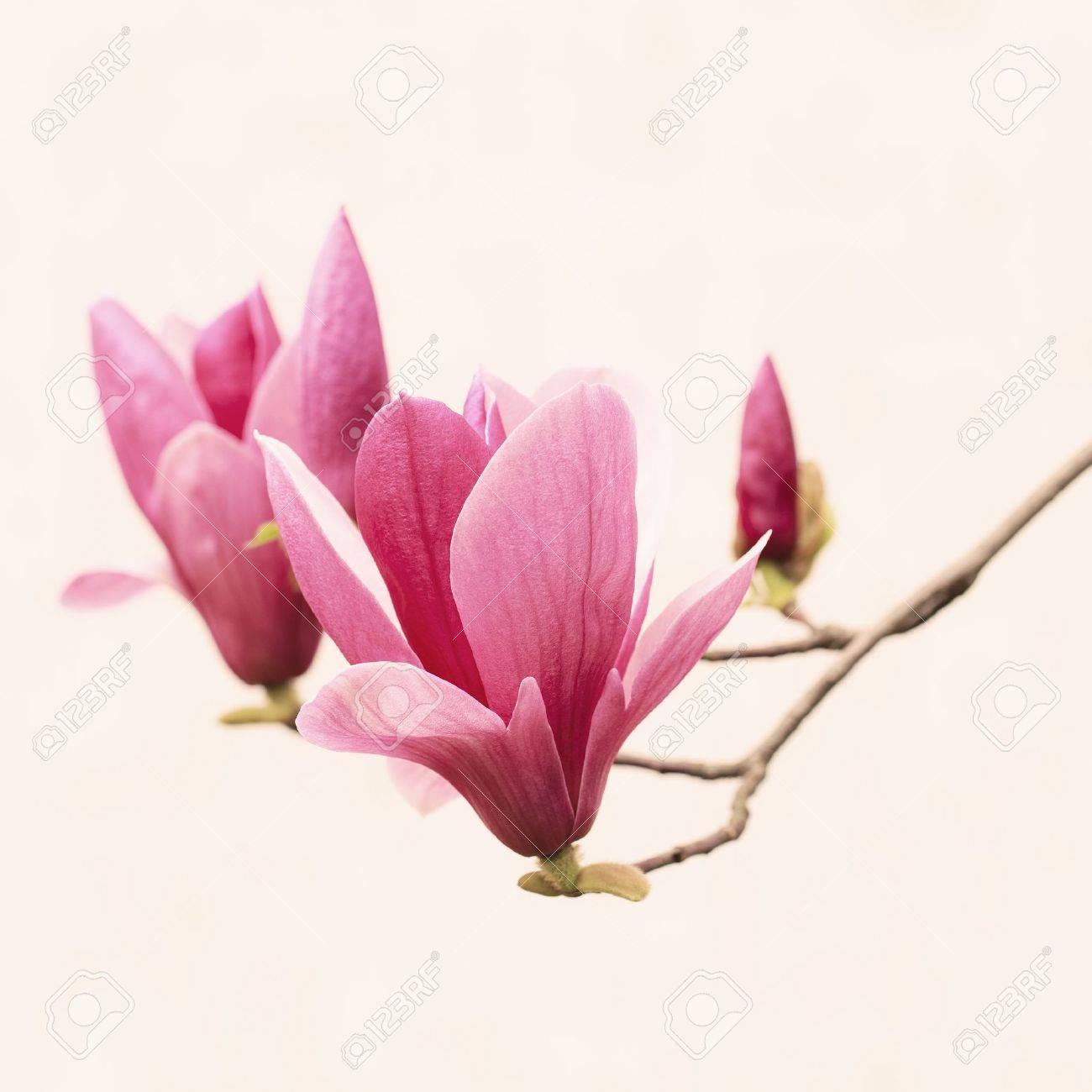 Closeup magnolia on white background Stock Photo - 18241556