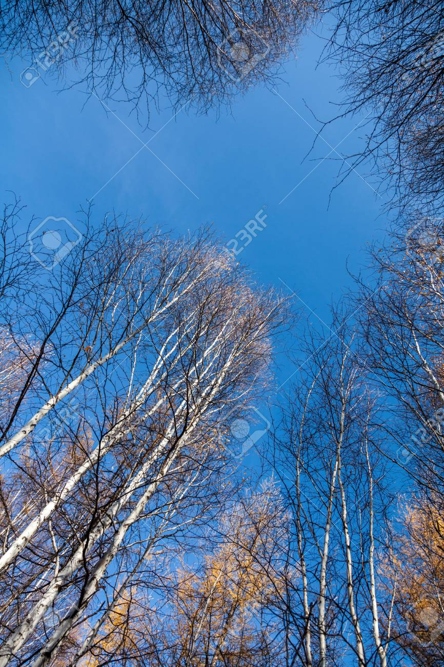 1342558422 Stock Photo - White Birch tops birch trees against of the sky