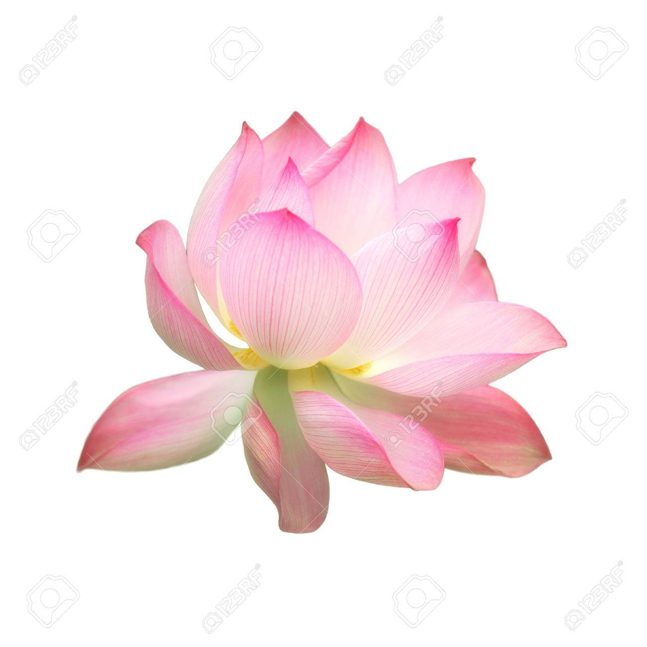 Single Pink Water Lotus Flower Isolated On White Background Stock