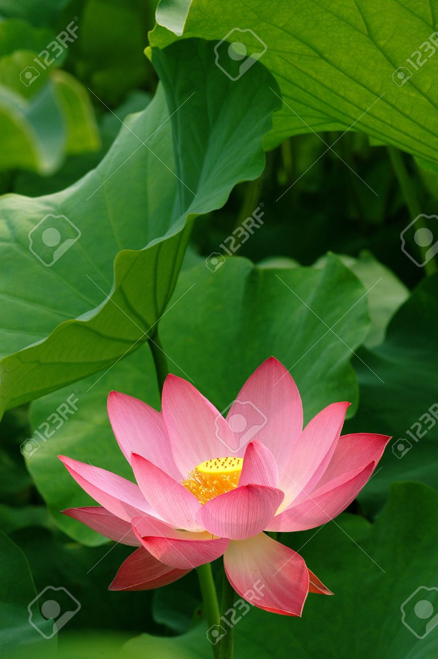 Beautiful Chinese Pink Lotus Flower Stock Photo Picture And Royalty