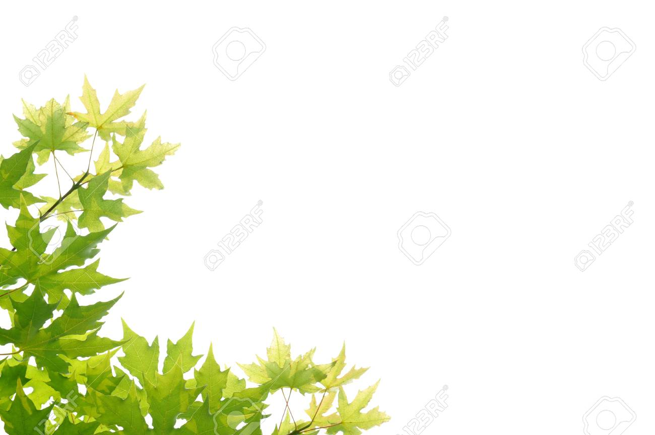 green maple leaves in the White background Stock Photo - 7176852