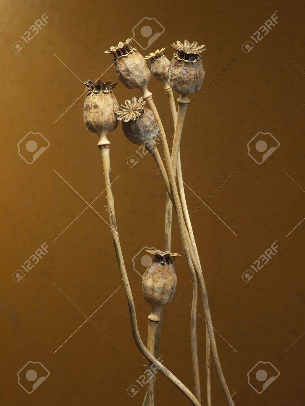 Some Dry Poppy Flower Heads On A Brown Background Stock Photo