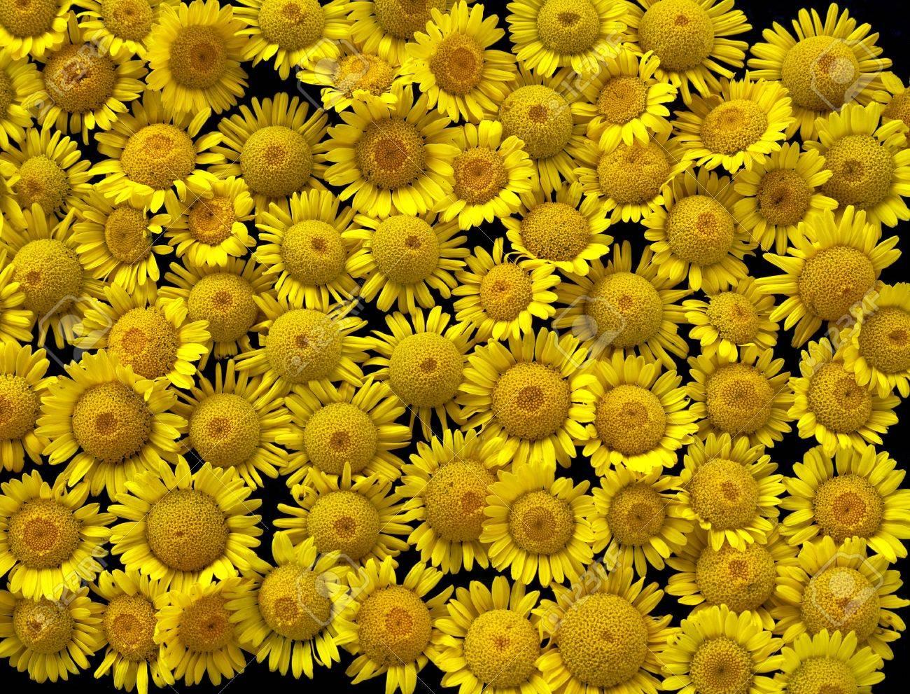 Un Monton De Pequenas Flores Silvestres Amarillas En El Fondo Fotos