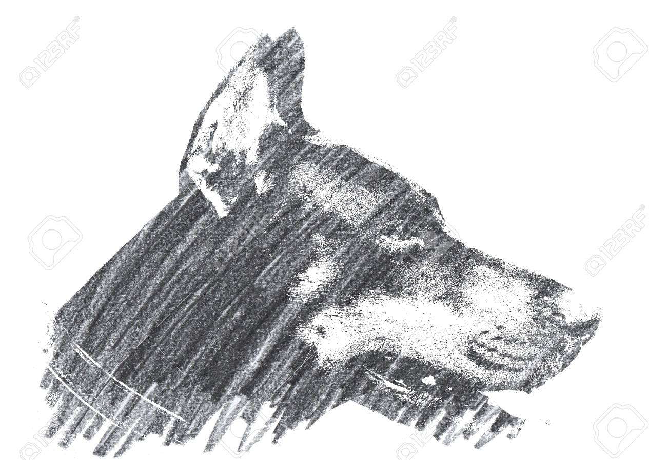 Pencil drawing of a doberman dog stock photo 95716169