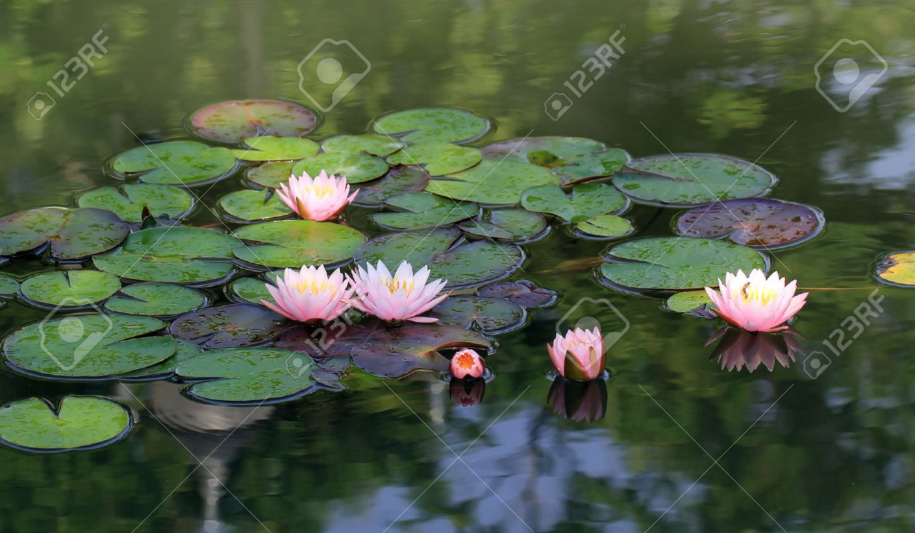 Beautiful Lotus Flower In The Pond Stock Photo Picture And Royalty