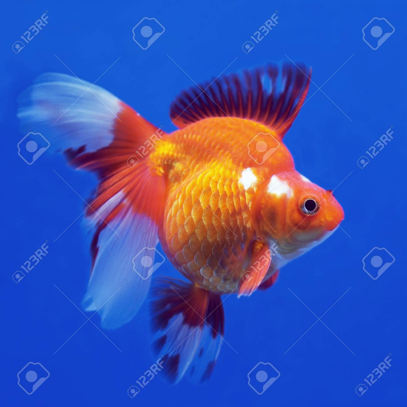 Beautiful Goldfish In The Aquarium Stock Photo Picture And Royalty Free Image Image 33110442