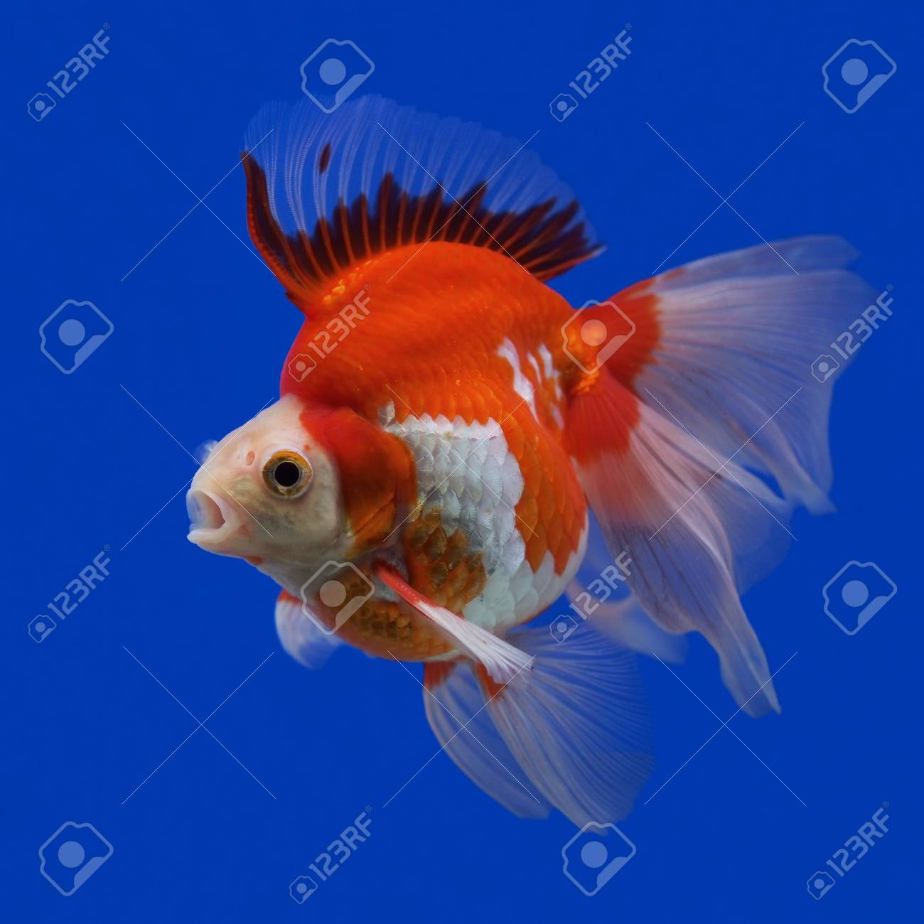 Beautiful Goldfish In The Aquarium Stock Photo Picture And Royalty Free Image Image 34248260